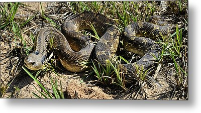Metal Print featuring the photograph Western Plains Hognose Snake by Karen Slagle