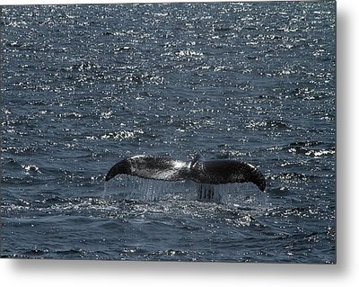 Whale Action Metal Print by Karol Livote