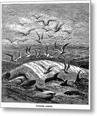 Whale Carcass Adrift, 1874 Metal Print by Granger
