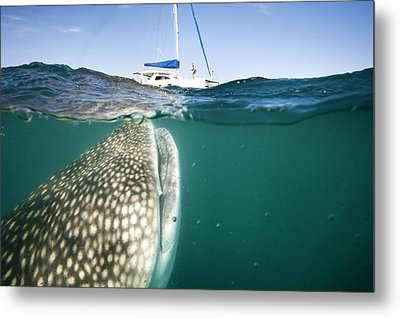 Whale Shark And Yacht Metal Print by Christopher Swann