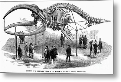 Whale Skeleton, 1866 Metal Print by Granger
