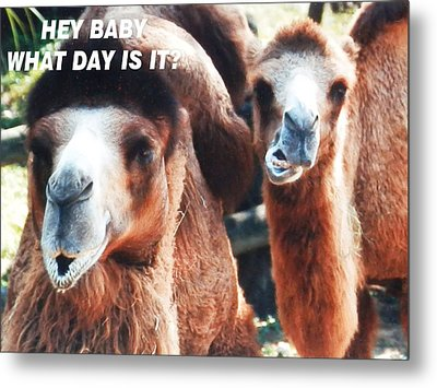 Camel What Day Is It? Metal Print