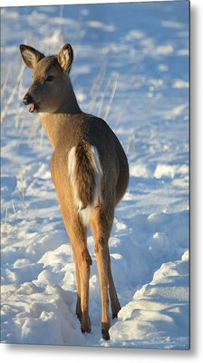 What Do You Think This Deer Is Saying? Metal Print by Dacia Doroff