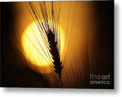 Wheat At Sunset  Metal Print