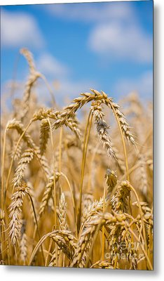 Wheat Metal Print by Cheryl Baxter