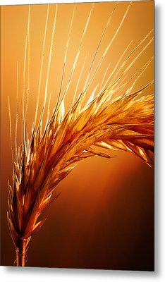 Wheat Close-up Metal Print by Johan Swanepoel
