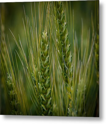 Wheat In The Palouse Metal Print