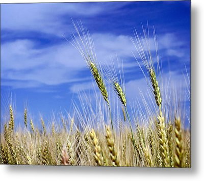 Metal Print featuring the photograph Wheat Trio by Keith Armstrong
