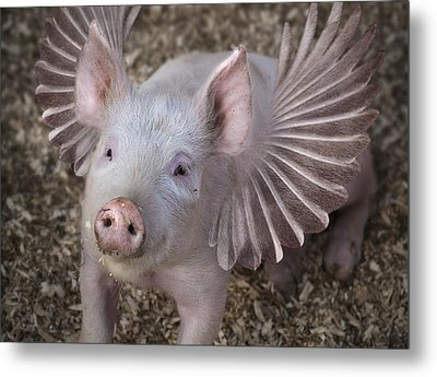 When Pigs Fly Metal Print by Rick Mosher