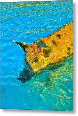 When Pigs Swim Metal Print by Kim Pippinger