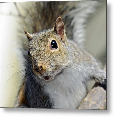 Where Are The Nuts Metal Print by Susan Leggett