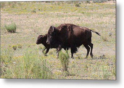 Where The Bison Roam Metal Print by Ruth Jolly