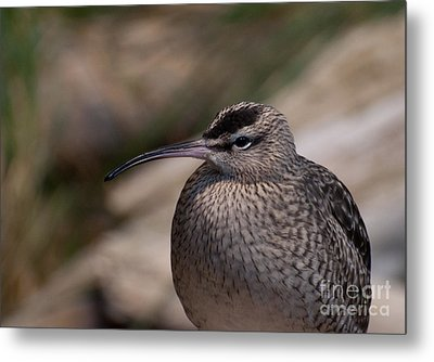 Metal Print featuring the photograph Whimbrel by Bianca Nadeau