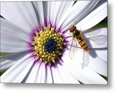 Metal Print featuring the photograph White African Daisy Marmalade Fly by Scott Lyons