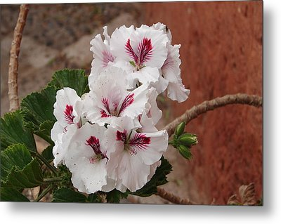 Metal Print featuring the photograph White And Red Geraniums by Lew Davis