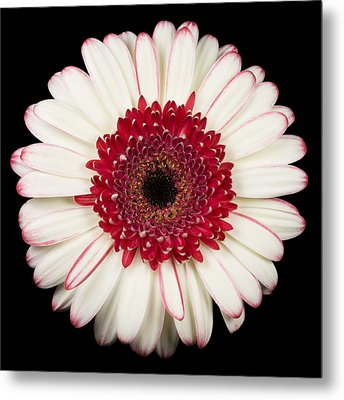 White And Red Gerbera Daisy Metal Print by Adam Romanowicz