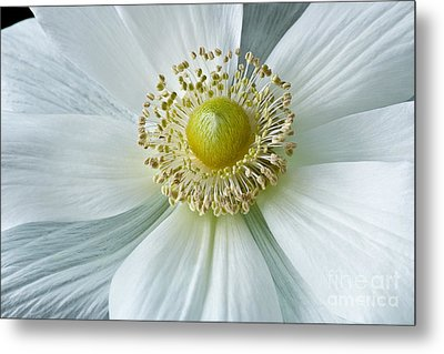 White Anemone 2012 Metal Print by Art Barker