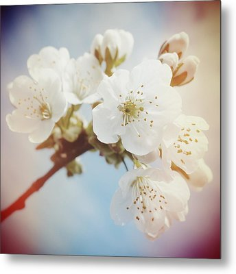 White Apple Blossom In Spring Metal Print