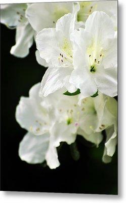 White Azalea Flowers Metal Print by Rebecca Sherman