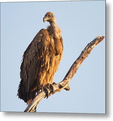White Backed Vulture Metal Print by Craig Brown