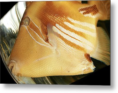 White-banded Triggerfish Metal Print by Natural History Museum, London