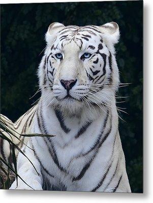 Blue Eyed White Bengal Tiger Metal Print by Daniel Hagerman