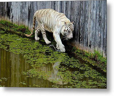 White Bengal Tiger Metal Print by Venetia Featherstone-Witty