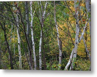 White Birches In The Woods Metal Print by Denyse Duhaime