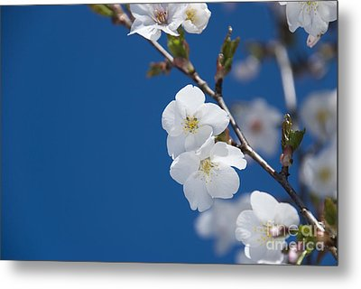 White Blossom Metal Print by Anne Gilbert