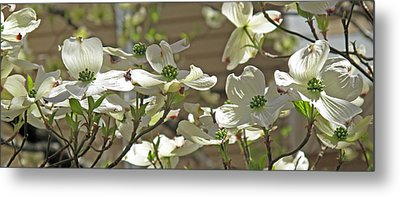 White Blossoms Metal Print by Barbara McDevitt