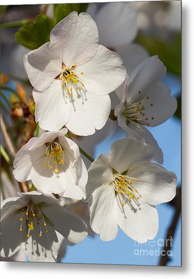 White Blossoms Metal Print by Dale Nelson