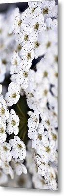 White Blossoms Metal Print by Frank Tschakert