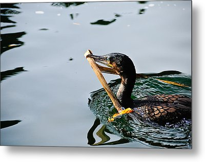White Breasted Cormorant Metal Print by Bonnie Fink