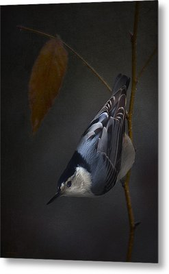 White Breasted Nuthatch Metal Print by Ron Jones