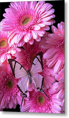 White Butterfly On Pink Gerbera Daisies Metal Print by Garry Gay