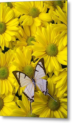 White Butterfly On Yellow Mums Metal Print