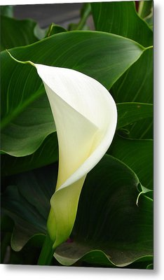 Metal Print featuring the photograph White Calla by Lew Davis