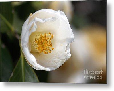 White Camellia  Metal Print by Joy Watson
