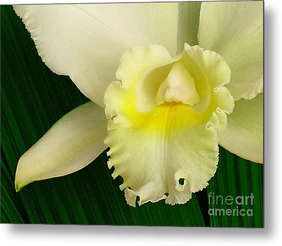 White Cattleya Orchid Metal Print by James Temple