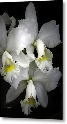 White Cattleya Orchids Metal Print by Julie Palencia