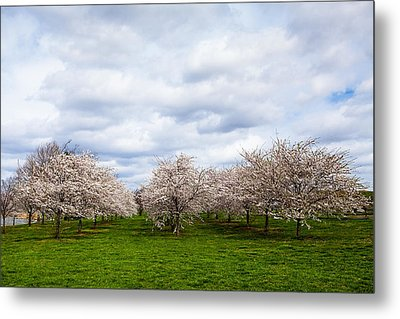 White Cherry Blossom Field In Maryland Metal Print by Susan Schmitz
