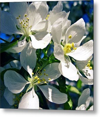 White Cherry Blossoms In The Spring Metal Print by Julie Magers Soulen