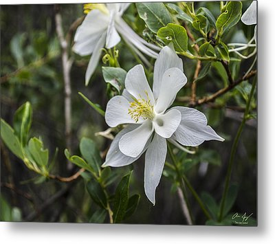 White Columbine Metal Print