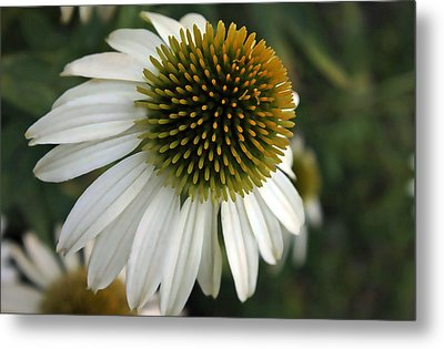 White Coneflower Metal Print by Ellen Tully
