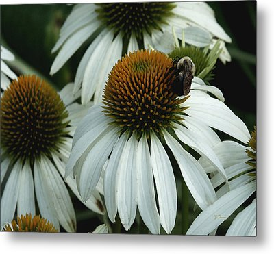 Metal Print featuring the photograph White Coneflowers  by James C Thomas