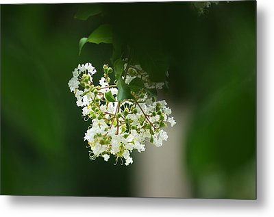 Metal Print featuring the photograph White Crepe Myrtle Blossom by Suzanne Powers