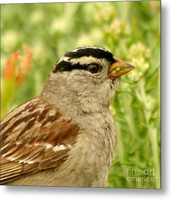 Metal Print featuring the photograph White Crowned Sparrow Portrait by Bob and Jan Shriner