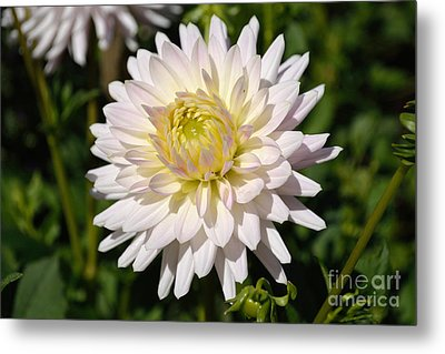 White Dahlia Flower Metal Print
