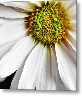 White Daisy Closeup Metal Print by Madonna Martin