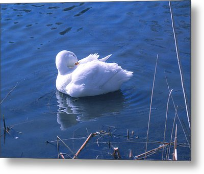 Metal Print featuring the photograph White Duck by David Klaboe